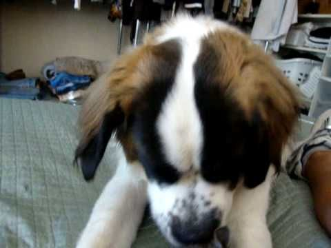 Stray Kitten Finds Comfort With St. Bernard | The Animal Rescue Site Blog