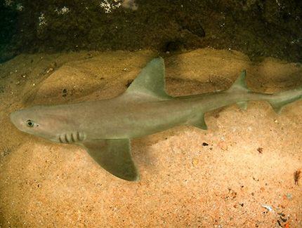 Dogfish Shark - http://www.withinthesea.com/reef-fish/sharks/dogfish-shark/