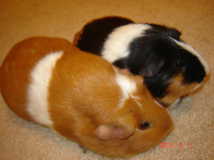 103 best small pets images on pinterest guinea pigs little pigs 2 guenia pigs leash and cage plus like food and stuff publicscrutiny Gallery