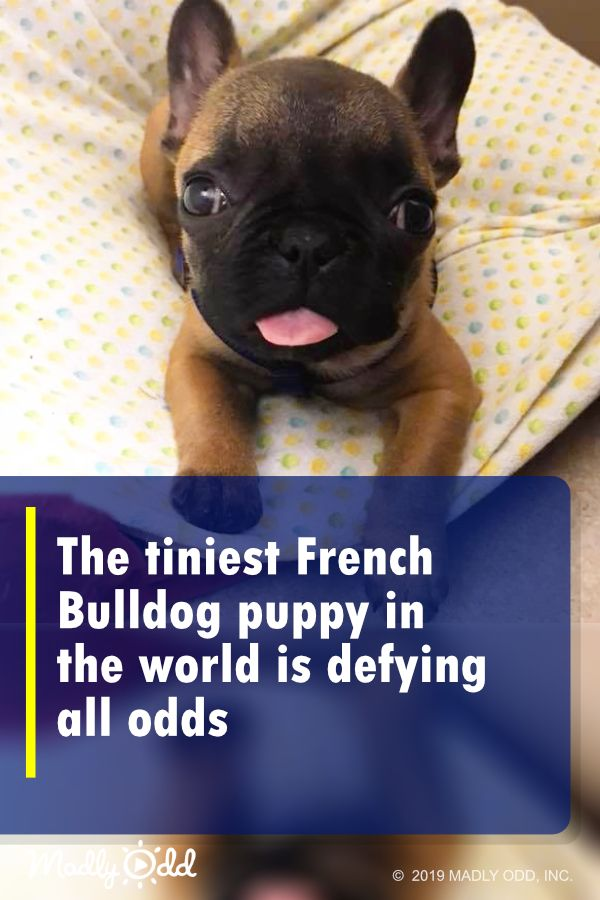 The Tiniest French Bulldog Puppy In The World Is Defying All Odds Bulldog Puppies French Bulldog Bulldog