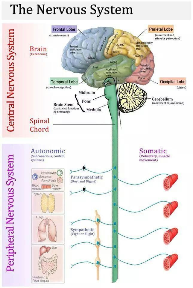 The nervous system is broken into more specific types based on anatomy and function. This diagram labels and lists examples of each specific nervous system.