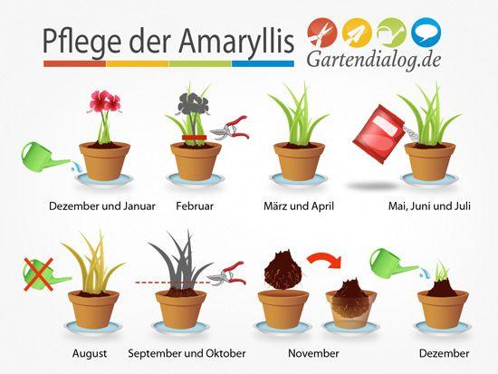 Amaryllis, Hippeastrum ist verblüht – Pflege nach der Blüte