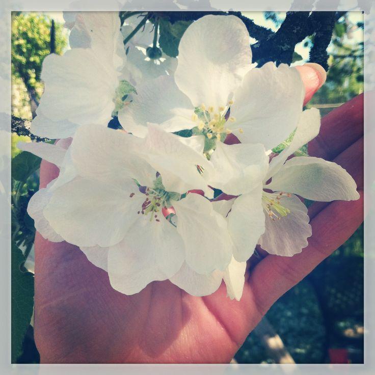Omenapuu kukassa, niin kaunis näky <3