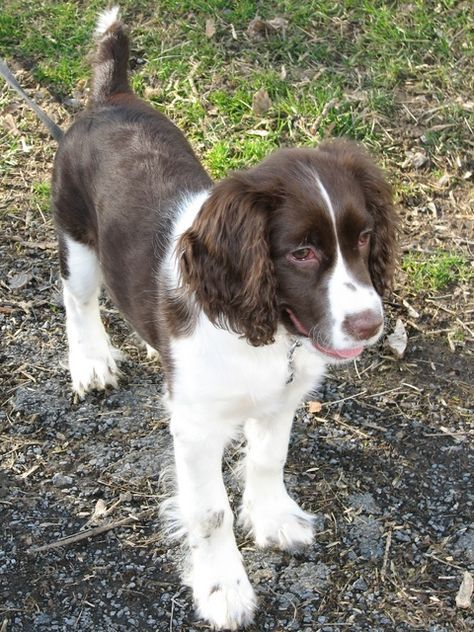 Pictures of English Springer Spaniel Dog Breed - Tap the pin for the most adorable pawtastic fur baby apparel! You'll love the dog clothes and cat clothes! <3