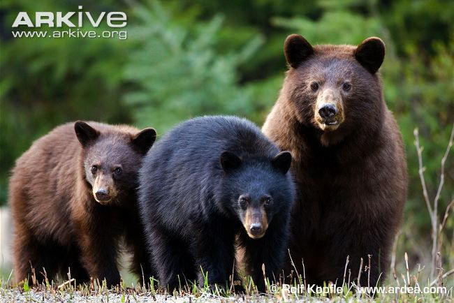 Female American black bear with cinnamon coloring with her cinnamon and black cubs - photo by Rolf Kopfle;  Most black bears have black fur, but some in eastern North America have lighter coats of cinnamon or yellow-brown.