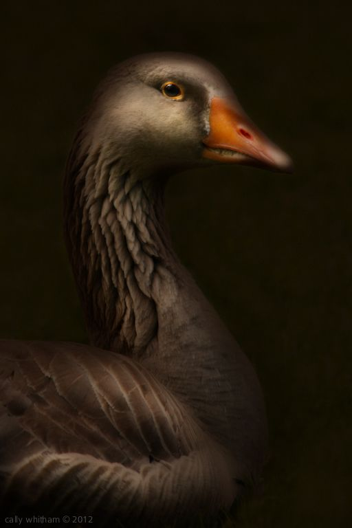Geese by Cally Whitham