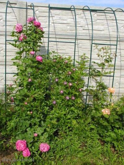 Уход за плетистыми розами..
