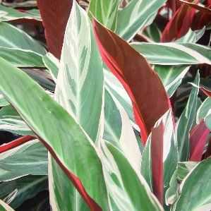 Calathea 39 triostar 39 nombre popular tipolog a planta vivaz de hoja perenne utilizaci n - Plantas de exterior resistentes al frio y al calor fotos ...