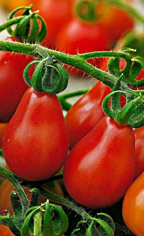 Untitled Tanaman Tomat Buah Ilustrasi Daun