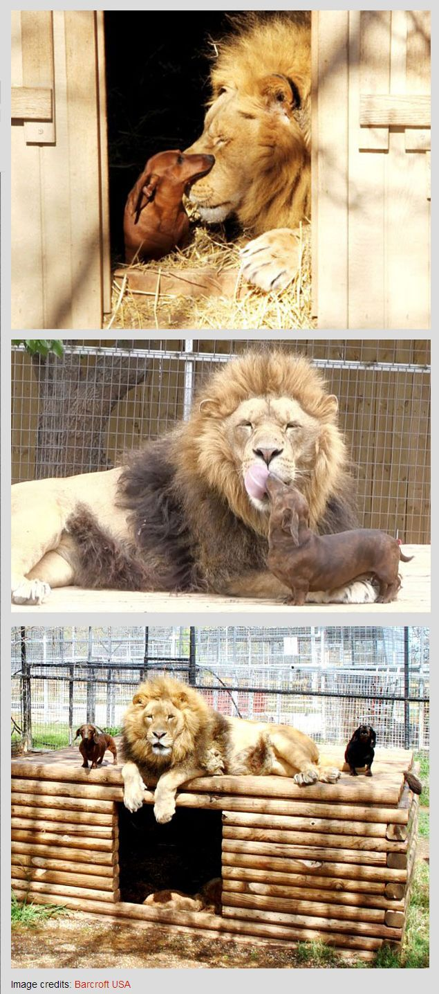 Milo the Dog and Bonedigger the Lion | #friends #animals #love | Unusual Animal Friendships That Will Melt Your Heart by http://www.boredpanda.com/unusual-animal-friendships-interspecies/