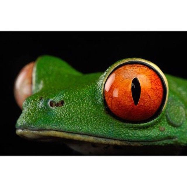 Photo by @joelsartore | Red-eyed tree frog at the Miller Park Zoo. When sleeping during the day with its huge eyes closed, this frog becomes completely camouflaged among tree leaves. #frog #joelsartore #photoark #beautiful #photooftheday