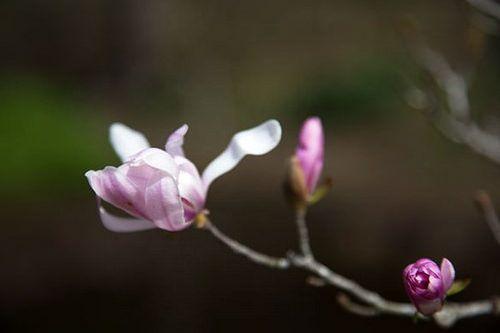 Magnolia stellata シデコブシ magnoliastellata モクレン科 magnoliaceae モクレン属 magnolia 落葉で高さは約5m裏面は淡緑色で若いときにはしばしば脈状に毛がある 春 spring flower plant