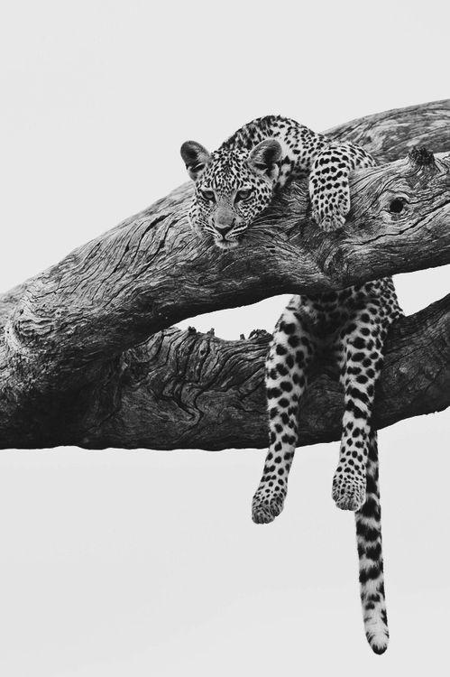 Just hanging around | safari | black & white | animal kingdom | leopard | www.republicofyou.com.au