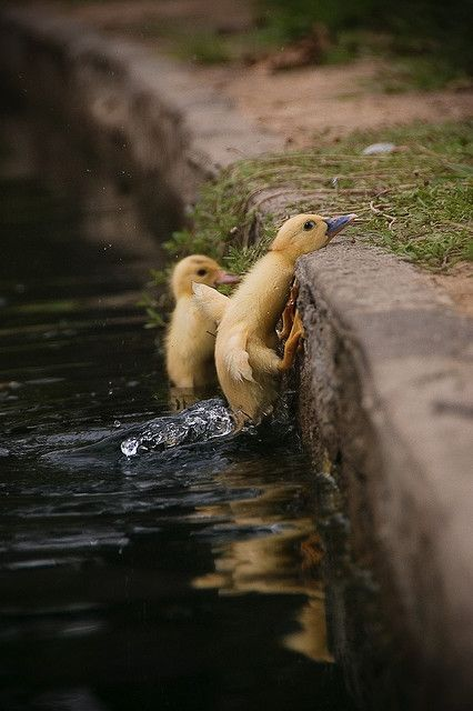 :]: Animal Pics, Ducklings, Animal Pictures, Funny Pics, Baby Ducks, Writing Prompts, Funny Photo, Funny Animal, Birds