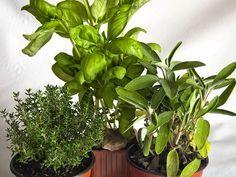 Del tomillo, la salvia y la albahaca. Nos da todos los detalles de estas hierbas aromáticas el autor del blog Gastrocinemia.
