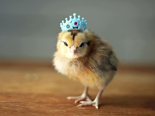Too Cute! Baby Chicks Wearing Hats - Baby Animals, Cute Pets : People.com