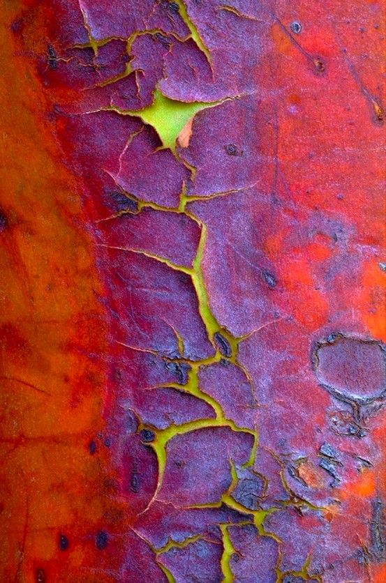 The orange-red bark of a Madrone evergreen tree peels away on mature wood. Beneath is a smooth, green layer.