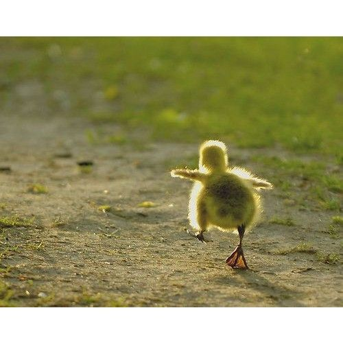 """baby duck walking  日本語で「命」という言葉のかっこうをしています。  We're dressed as a word """"life"""" in Japanese."""