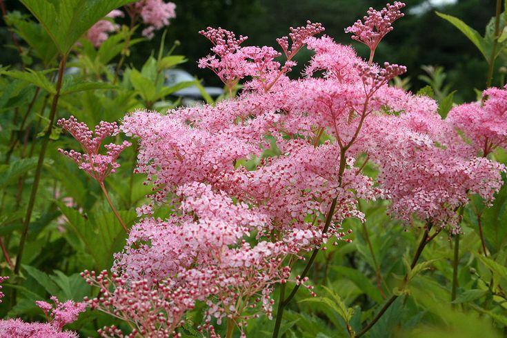 Vlinderhof | Filipendula rubra venusta 'Magnifica'