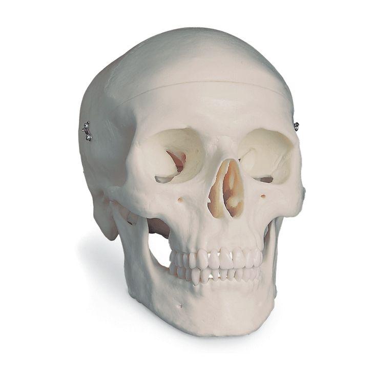 Modèle anatomique Crâne classique, en 3 parties