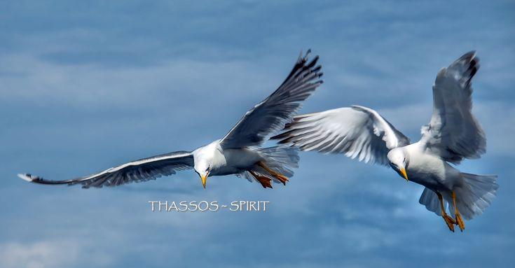 Sea-gulls over Thassos