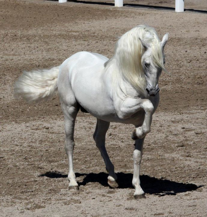 Andalusian, horse, hest, White beauty, animal, posing, gesture, beautiful, gorgeous, photograph, photo
