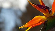ดอก Bird of Paradise