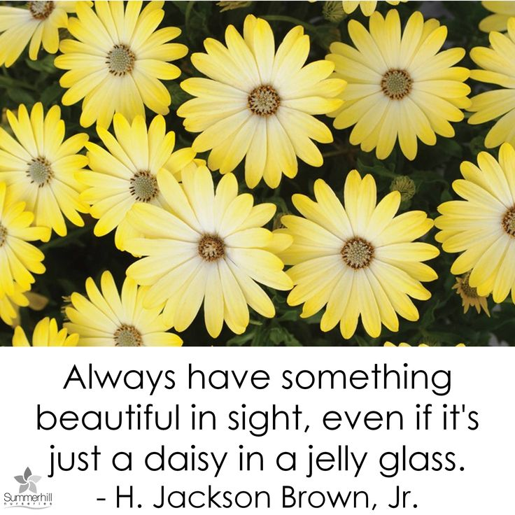 whats more inspiring for gardeners than these sunny yellow osteospermum African Daisy available at Summerhill Nurseries  http://www.summerhillnurseries.com.au/www/content/default.aspx?cid=729&fid=705