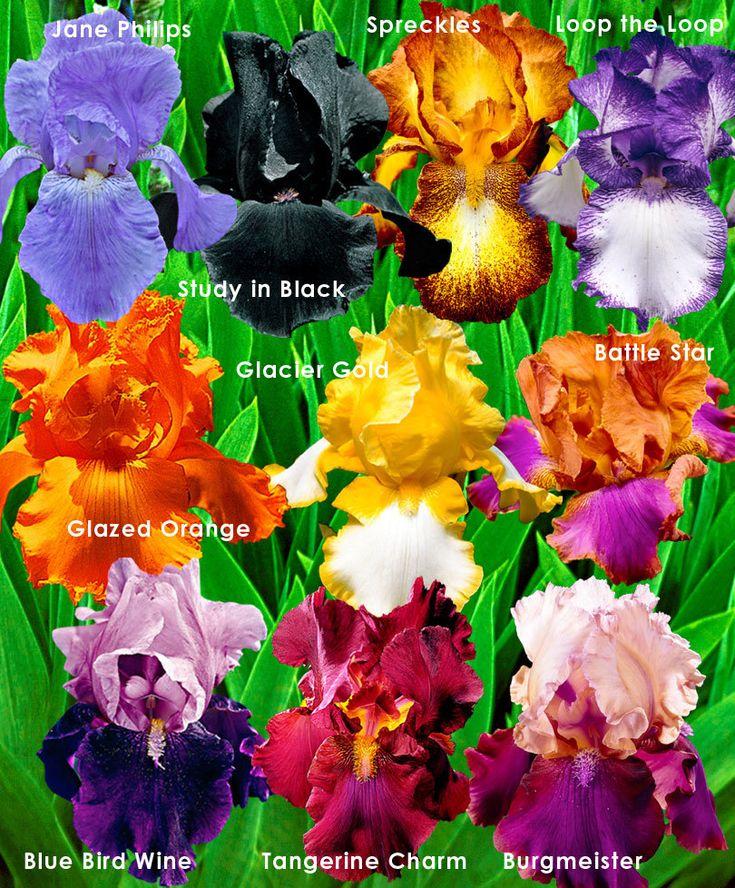 Bearded Iris in 10 Varieties