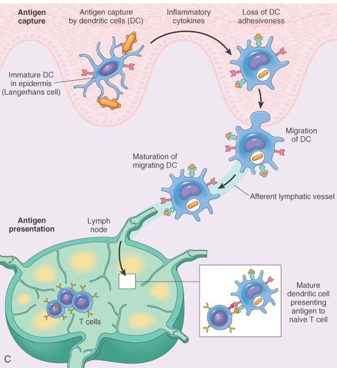 b cells | Antigen presenting cells of the skin called dendritic cells