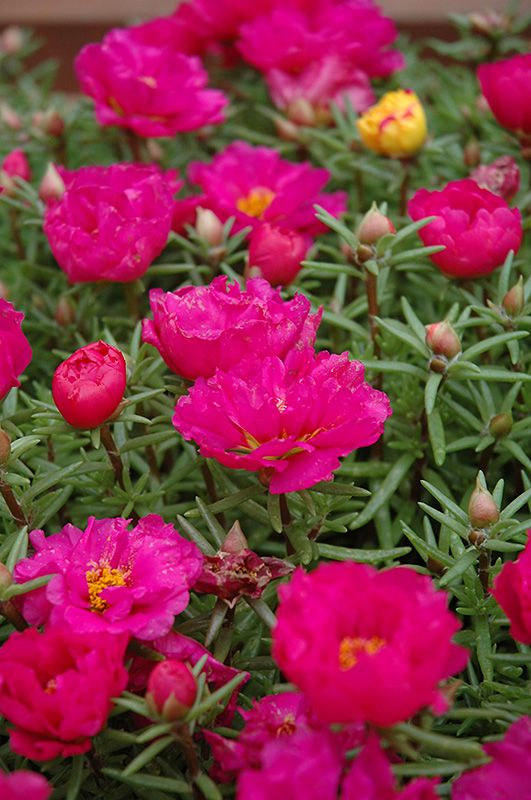 Click to view full-size photo of Sundial Fuchsia Portulaca (Portulaca grandiflora 'Sundial Fuchsia') at Bachman's Landscaping