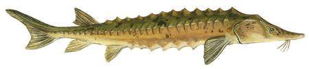 Lake sturgeon (Acipenser fulvescens)