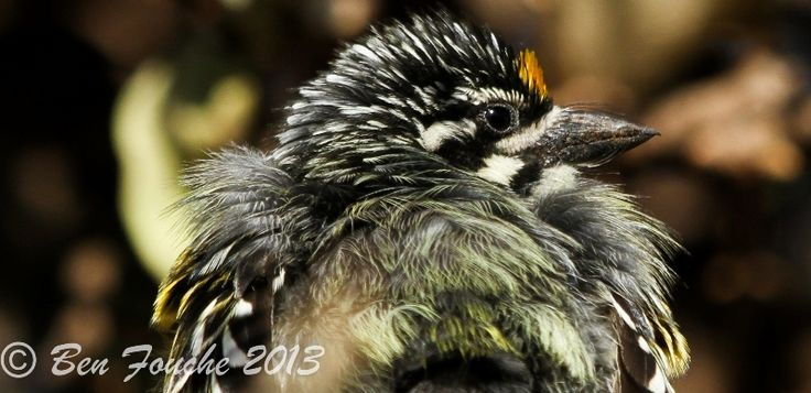 Yellow-fronted Tinkerbird, Geelblestinker, (Pogoniulus chrysoconus)
