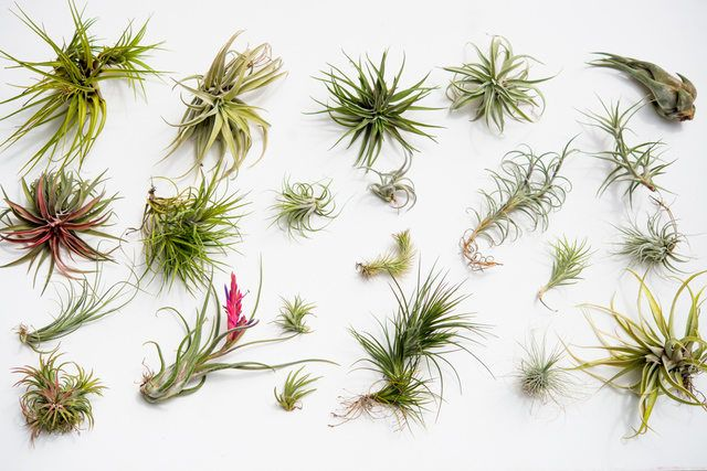 Air plants come in a wide variety of sizes, colors and shapes. The one thing they have in common? They do not need soil to survive. They receive their nutrients through their leaves. Air plants (tillandsias) are all the rage. Here's how to take care of them — from sun and water to pruning and fertilizing.