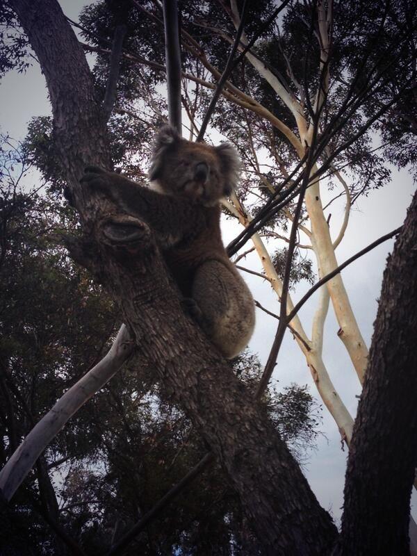 Great Koala shot by @saskia_du_bois on Twitter:   @City of Salisbury South Australia spotted at the old Ingle Farm kindy site! #5108proud #wildlife #australia