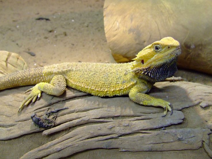 bearded dragon | inland bearded dragon our breeders awesome yellow color you dont get