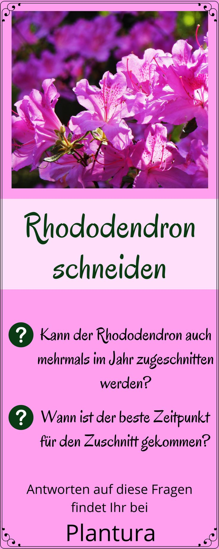 Rhododendron schneiden: Wann und wie richtig schneiden