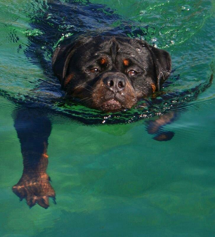 Taking a swim. Rottweiler dog art portraits, photographs, information and just plain fun. Also see how artist Kline draws his dog art from only words at drawDOGS.com #drawDOGS http://drawdogs.com/product/dog-art/rottweiler-dog-portrait-by-stephen-kline/ He also can add your dog's name into the lithograph.