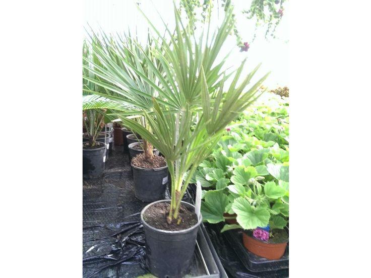 mediterranean fan palm 50cm tall approx fan palmhouse plantsbulbscan