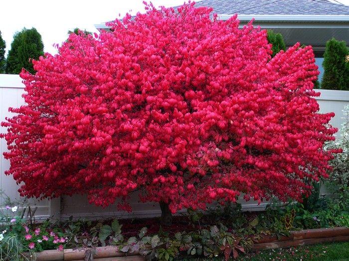 Best 25+ Burning bush shrub ideas on Pinterest   Burning bush ...