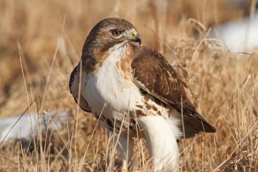 Desert Hawk Animal red-tailed-hawk.jpg 50...