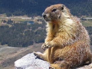 Daniele: 2 februarie, Ziua marmotei sau a Ursului?  http://daniela-florentina.blogspot.ro/2016/02/2-februarie-ziua-marmotei-sau-ursului.html