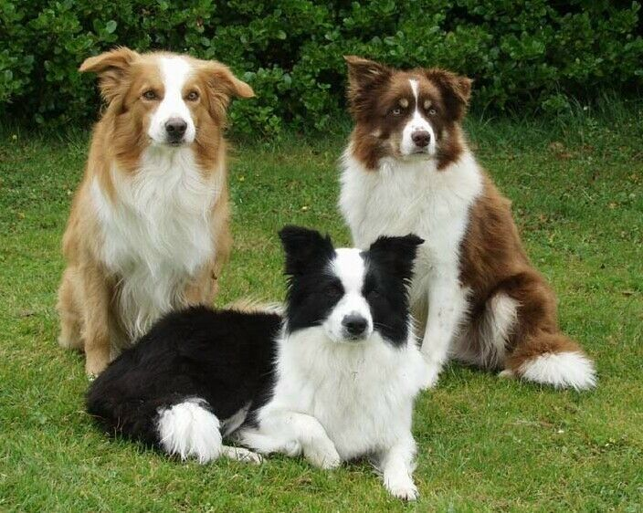 Border Collie -  Britain's Border Collie is often considered the finest sheepherding dog in the world, bred strictly for working ability rather than appearance. This is a medium-sized dog, with females usually averaging 35 to 45 pounds, males averaging 45 to 55 pounds.