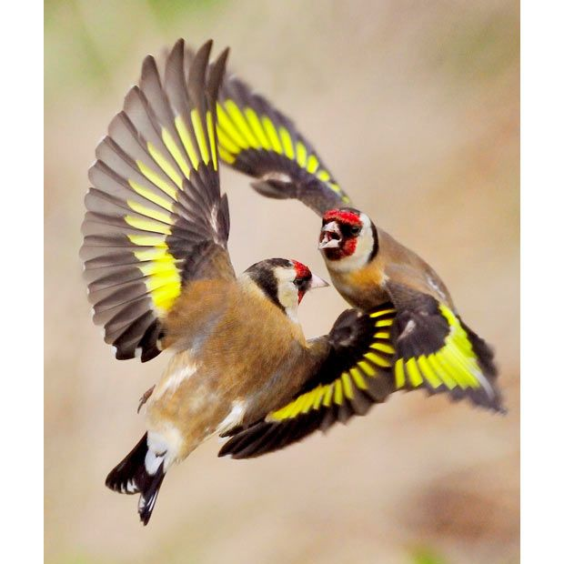 "Two goldfinches have a mid-air fight after struggling to get enough space on a bird feeder in a British back garden. Photographer Laurie Campbell snapped away from a hide in his garden for 30 hours to get a picture he was happy with. Laurie, from Berwick-on-Tweed, Northumberland, said: ""It can take weeks for the goldfinches to find this bait but once they do, they are hooked."""