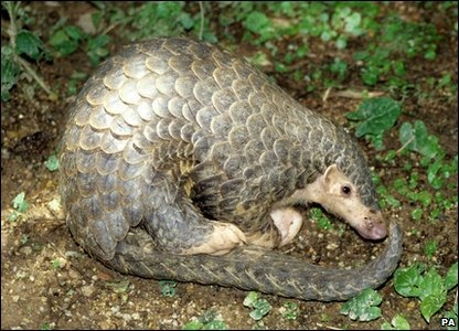 Chinese Pangolin: another critically endangered animal because they are hunted for medicinal use. Cool fact: Their scales are actually fused hair and it takes up 1/4 of their body weight!