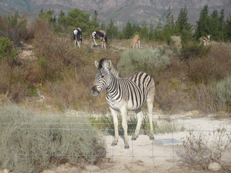 Val de Vie's nature reserve has an abundance of buck and zebra