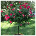 Reaching a mature height of 4-7 feet, your Knockout Rose Tree will work in any area of your landscape. Plant in containers or directly in the ground. Creates a stunning entryway, pool accent or garden focal point. A versatile tree that stays smothered in roses for up to 6 months out of the year.