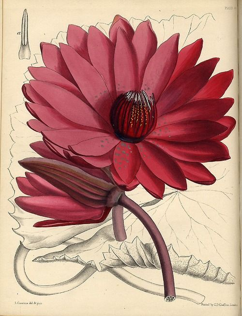 John Lindley & Joseph Paxton, Water Lily, Seerose, 1850-53. Hand-colored lithograph. From: Paxton's Flower Garden, London. University Library Salzburg.