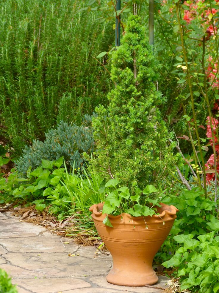 43 best images about dwarf evergreens for containers as a. Black Bedroom Furniture Sets. Home Design Ideas