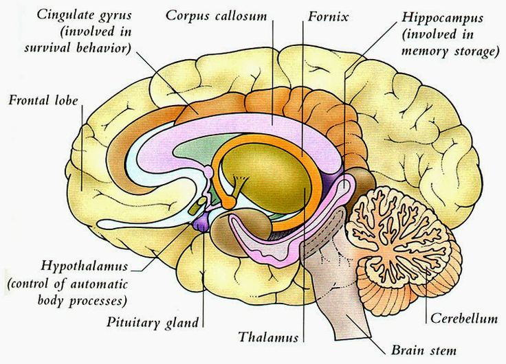 Human Anatomy and Physiology Diagrams: Human Brain Diagram